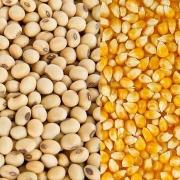 Ngô và đậu tương có thể tiếp tục đà tăng trong khi lúa mỳ điều chỉnh