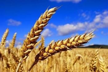 [Dự đoán]  Giá ngô và lúa mỳ có thể điều chỉnh giảm trước khi tăng trở lại