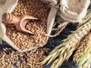 Giá ngô đi ngang chờ báo cáo cuối tuần khi giá lúa mỳ có thể giảm