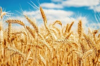 Giá lúa mì khó giảm sâu trong những phiên tới