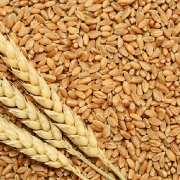 Ukranie: Dự kiến xuất khẩu lúa mì đạt gần 1 triệu tấn