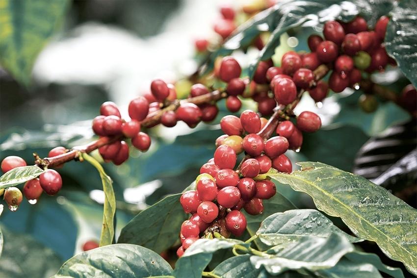 Giá cà phê hôm nay ngày 29/7: Robusta và Arabica diễn biến trái chiều