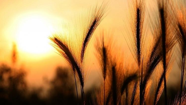 Xuất khẩu ngũ cốc của Nga đạt mức cao kỷ lục, giúp quốc gia này liên tục trở thành nhà xuất khẩu ngũ cốc lớn nhất thế giới