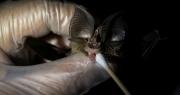 Trung Quốc phát hiện 4 virus corona mới ở loài dơi gần giống SARS-CoV-2